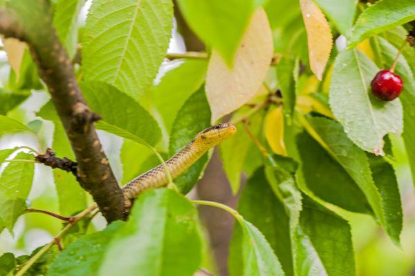 esculaapslang-aesculapian-snake-zamenis-longissimus1-20141218-191121266974EAB082-5E92-B7CE-DA94-9659F1B4B2E6.jpg