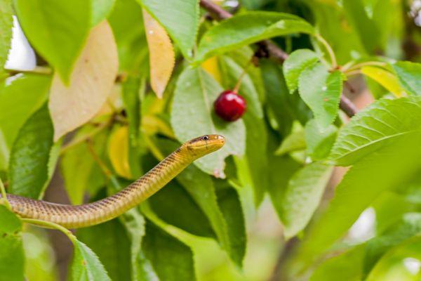 esculaapslang-aesculapian-snake-zamenis-longissimus2-20141218-17374934971E658C1D-3B60-9A3D-F67F-27C227211363.jpg