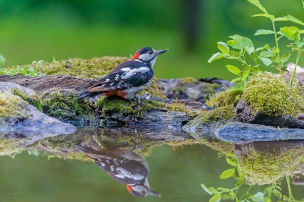 grote-bonte-specht-great-spotted-woodpecker-dedrocopos-major-20141218-1089330274B8A8F7AC-ECFE-0FC2-C322-8FF26C991E29.jpg