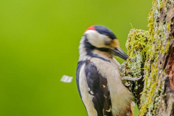 grote-bonte-specht-great-spotted-woodpecker-dedrocopos-major3-20141218-13048954487ED8556B-C3DC-9369-A238-A833C5758C31.jpg