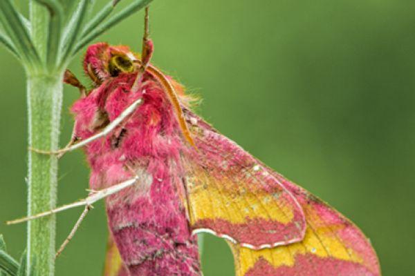 klein-avondroodsmall-elephant-hawk-moth-deilephila-porcellus-20141218-1642914934BBC1FFD3-D342-AB9A-2AF6-2124449E4842.jpg