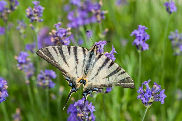 koningspage-scarce-swallowtail-iphiclides-podalirius1-20141218-1470556691677E987D-14DF-0058-BA31-BC87F2D04F65.jpg