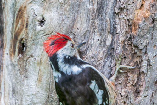 middelste-bonte-specht-middle-spotted-woodpecker-dendrocopos-medius-20141218-18669744225DA6C730-8D84-08FC-C1A5-BF7BD04C788D.jpg