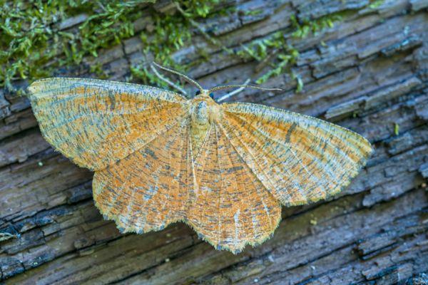 oranjeiepentak-vlinder-orange-moth-angerona-prunaria-20141218-150661610332883272-9CB8-4A88-C2AC-CE2154B654FF.jpg