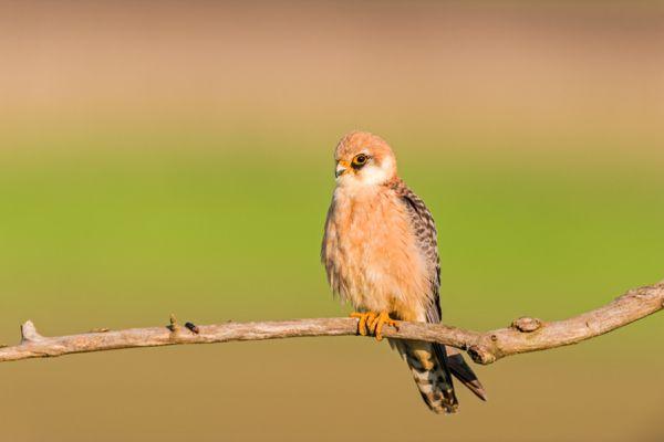 roodpootvalk-red-footed-falcon-falco-vespertinus-female-20141218-1504153800FA97F476-54AD-F614-EF22-51AD6055F68F.jpg