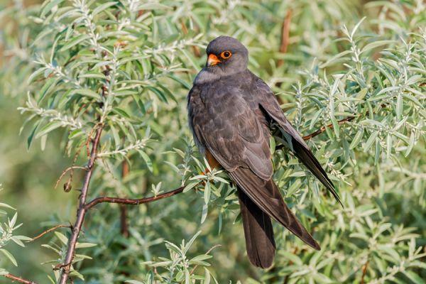 roodpootvalk-red-footed-falcon-falco-vespertinus-male-20141218-108684014596EB024B-4BFE-9AAF-632A-AB0F76A7A90B.jpg