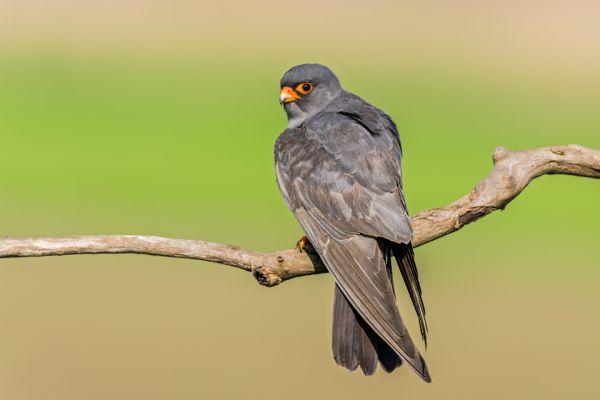 roodpootvalk-red-footed-falcon-falco-vespertinus-maleACFBEA58-52BF-38BA-8636-A8E6F92B18F9.jpg