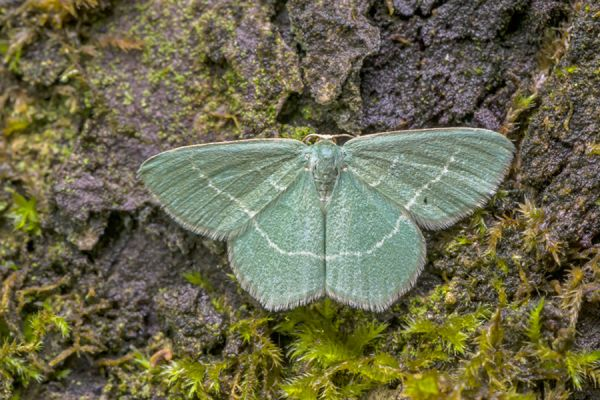smaragdgroene-zomervlinder-small-grass-emerald-chlorissa-viridata-20141218-1351940166BE119DDA-2FB8-188D-787E-67CB68CB909D.jpg