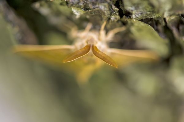 veelvraat-fox-moth-macrothylacia-rubi1-20141218-15874122167519DEAD-7B63-202B-6351-77CCE4EF47E0.jpg