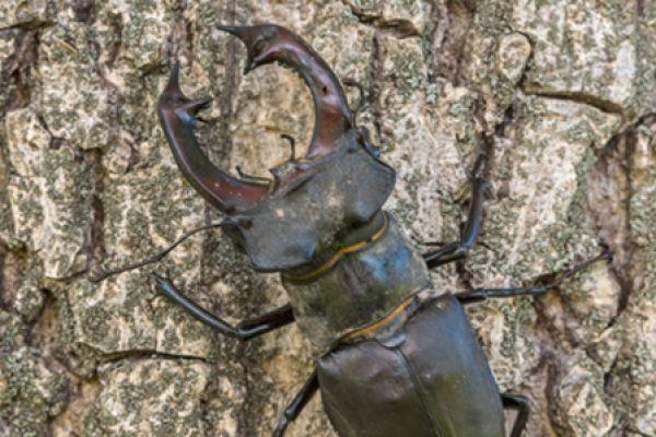 vliegend-hert-stag-beetle-lucanus-cervus-20141218-1991383644D569C07E-6BDB-2291-77DA-6A1F6A6F6791.jpg
