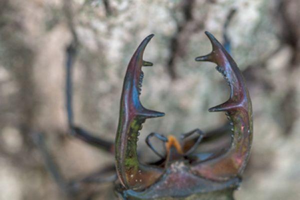 vliegend-hert-stag-beetle-lucanus-cervus1-20141218-1687723865EA0EF82E-671C-45E2-7A37-0192E4F8090A.jpg