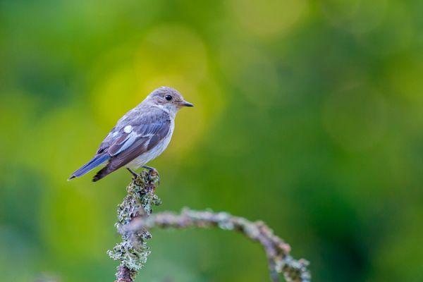 withalsvliegenvanger-collared-flycatcher-fidecula-albicollis-female-20141218-1363778854D5DE866E-5C88-8F3E-4A5E-F2DC00886DC9.jpg