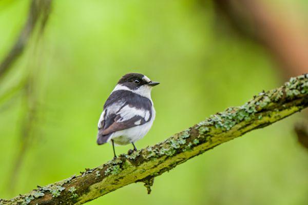 withalsvliegenvanger-collared-flycatcher-fidecula-albicollis-male-20141218-1241353549CBB14C00-279D-5DD0-DACA-74F2CC3CD961.jpg