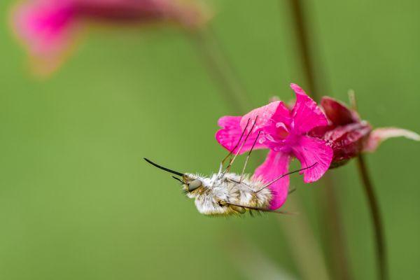 wolzwever-large-bee-fly-bombylius-major-20141218-1386245285F47B2747-9DA8-7D61-C09F-FFF2455BE23F.jpg