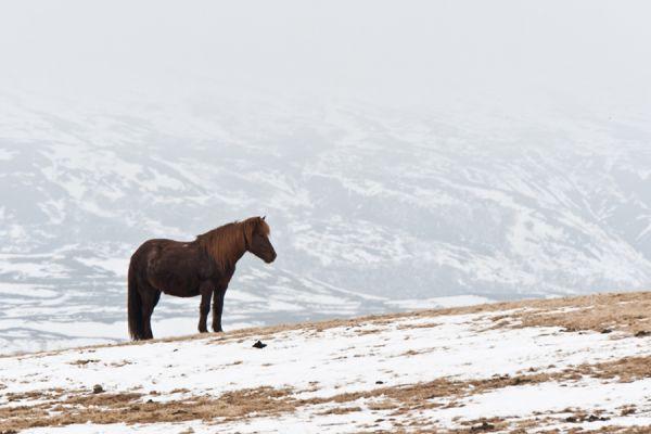 ijslands-paard-icelandic-horse-20141219-20573983164C43A343-87D8-FA72-C70A-3B3B415093E6.jpg