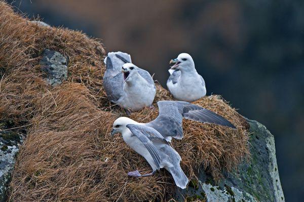 noordse-stormvogel-fulmar-fulmarus-glacialis-1-20141219-117962837631AAE6C7-30E2-290F-879E-6300A6E74DD8.jpg