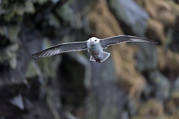 noordse-stormvogel-fulmar-fulmarus-glacialis-20141219-20384376820716EA0A-345A-145B-029D-283BA52C34BC.jpg