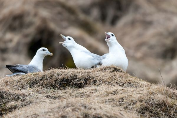 noordse-stormvogel-fulmar-fulmarus-glacialis4-20141219-1398439969CD9F8C77-4104-7021-6333-433B66870F0C.jpg