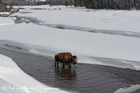 Bison in Yellowstone river