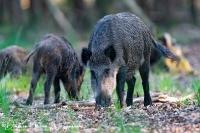 Wild Zwijn-Wild Boar-Wildschwein-Sus scrofa-Nikon D500+500mmF4-1:320sec bij F4 ISO 2000