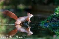 Eekhoorn-Red Squirrel- Eichhörnchen-Sciurus vulgaris-Nikon D500+Nikkor 200-400mm F4-1:1000-F4-iso1800