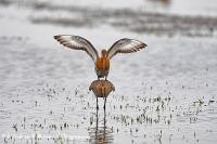 Parende Grutto's-Black-tailed Godwit mating-Uferschnepfe paarung