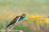 Bijeneter-Bee-eater-Bienenfresser-Merops apiaster-Nikon D500+Nikkor 200-400mm F4 @ 220mm 1:3200sec F4 ISO 720
