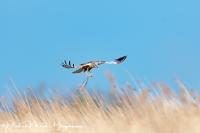Bruine Kiekendief met nestmateriaal-Marsh Harrier with nesting material-Rohrweihe mit Nestmaterial-Circus aeruginosus- Nikon D500 + Nikkor 500mm F4 1:2500 sec F4 ISO 160 +1:3