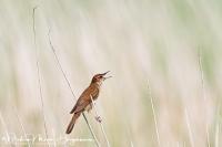 Snor-Savi's Warbler-Rohrschwirl-Locustella luscinioides
