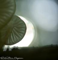 Porseleinzwam- Porcelain fungus-Buchen Schleimrübling -Oudemansiella mucida-OM D EM5 MII 45mm F2,8 Leica 1:80 sec F2,8 ISO 100
