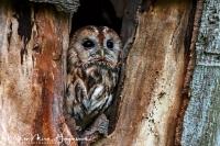 Bosuil-Tawny Owl-Waldkauz