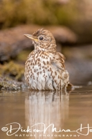 zanglijster_song_thrush_turdus_philomelos_20141218_1741637900