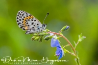 vetkruidblauwtje_chequered_blue_butterfly_scolitantides_orion_20141218_1064479395