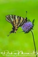 koningspage_scarce_swallowtail_iphiclides_podalirius_20141218_1835228616