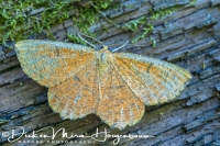 oranjeiepentak_vlinder_orange_moth_angerona_prunaria_20141218_1506616103