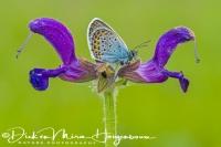 heideblauwtje_silver-studded_blue_plebejus_argus_20141218_1212131537