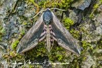 ligusterpijlstaart_privet_hawk_moth_sphinx_ligustri__20141218_1908372538