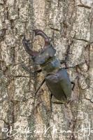 vliegend_hert_stag_beetle_lucanus_cervus_20141218_1991383644