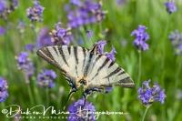 koningspage_scarce_swallowtail_iphiclides_podalirius1_20141218_1470556691