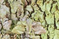 populierenpijlstaart_poplar_hawk-moth_laothoe_populi1_20141218_1197029683