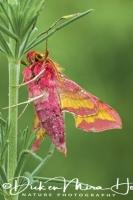klein_avondroodsmall_elephant_hawk-moth_deilephila_porcellus__20141218_1642914934