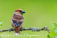 appelvink_hawfinch_coccothraustes_coccothraustes3_20141218_1246710769