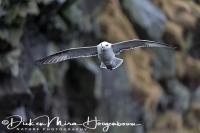 noordse_stormvogel_fulmar_fulmarus_glacialis_20141219_2038437682