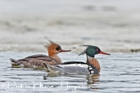 middelste_zaagbek_red-breasted_merganser_mergus_serrator_20141219_1336507584