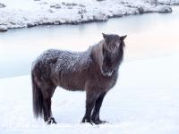 ijslands_paard_icelandic_horse_20141219_1969578324