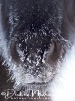 ijslander_met_kouwe_neus_cold_nose_20141219_1533925964
