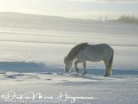 ijslands_paard_op_zoek_naar_eten_-_icelandic_horse_forraging_20150224_1711210229
