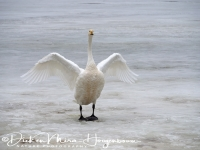 wilde_zwaan_-whooper_swan_spreading_its_wings_cygnus_cygnus__20150224_1527022609