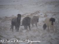 ijslanders_in_sneeuwstorm_-_icelandic_horses_in_snowstorm__20150224_1275490633