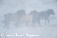 ijslanders_in_sneeuwstorm_-_icelandic_horses_in_snowstorm_20150224_1641082261